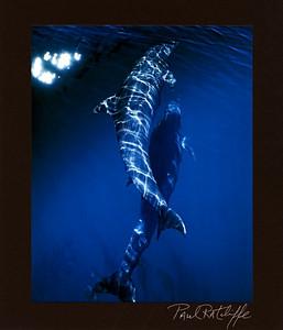 Dolphin Prints